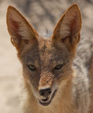 The Jackal Stock Images