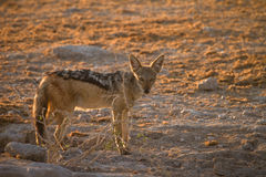 Jackal Stock Photo