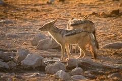 jackal стоковая фотография rf