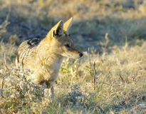 Jackal. A black-backed jackal in the wilderness of Namibia, Africa Royalty Free Stock Photos