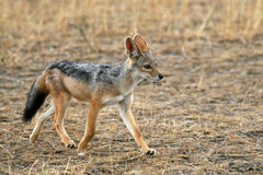 Jackal Royalty Free Stock Photo