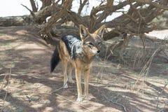jackal Photo libre de droits