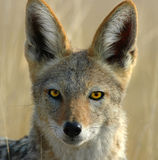 Jackal. This is a close up of a jackal in Namibia south Africa, he was hunting until I was seen Royalty Free Stock Photography