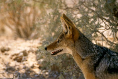 The jackal Royalty Free Stock Photography
