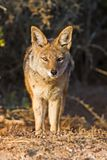 The Jackal Stock Photo