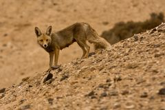 Jackal. Golden Jackal, Negev desert, Israel Royalty Free Stock Photos