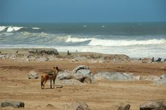 Jackal at the beach. Jackals hunting fresh born seals at the beach of cape cross Stock Image