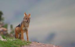 Jackal. A Black back jackal on the edge of a cliff Stock Photography