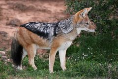 Jackal - Black Backed. Black backed jackal with beautiful fur and bushy tail Stock Photos