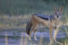 Jackal. A black backed jackal just before sunset walking his territory heading down to the water for a drink Stock Photo