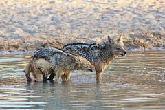 Jackal, Black-bakced - Sundowner Growl Royalty Free Stock Image