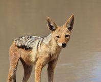 Jackal, Black-bakced - Undertaker of Africa Stock Photo