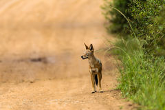 Jackal Blackbacked Animal Hunt Royalty Free Stock Image