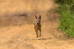 Jackal Blackbacked Hunting Wildlife  Royalty Free Stock Image
