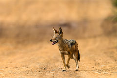 Free Jackal Blackbacked Wildlife Stock Photos - 29081263