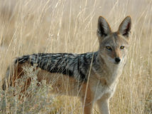 Jackal in brush. This is a jackal in the tall grass in south africa Stock Photo