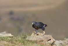 Jackal Buzzard Royalty Free Stock Photos