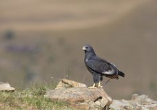 Jackal Buzzard Royalty Free Stock Images
