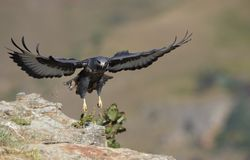 Jackal Buzzard Royalty Free Stock Image