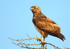 Jackal Buzzard Royalty Free Stock Photo