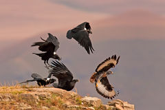 Jackal buzzard being chased away Stock Photo