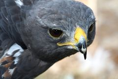 Jackal Buzzard Bird stock image