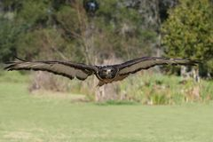 Jackal Buzzard Bird Royalty Free Stock Image