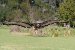 Jackal Buzzard Bird Royalty Free Stock Image