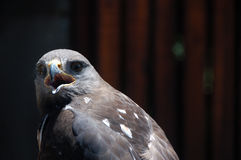 Jackal buzzard ( Buteo rufofuscus ) Stock Images