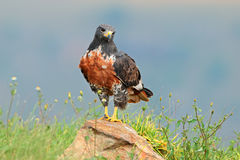 Jackal buzzard Stock Images