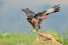 Jackal buzzard Stock Photos