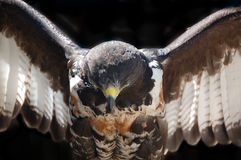 Jackal Buzzard close up Stock Photography