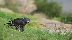 Jackal buzzard feeding stock footage