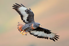 Jackal buzzard in flight Royalty Free Stock Image
