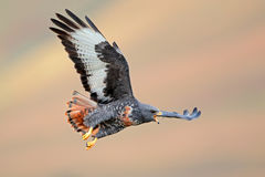 Jackal buzzard in flight Stock Image