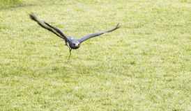 Jackal Buzzard in flight at Thorpe Perrow Stock Photo