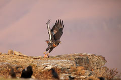 The jackal buzzard flying off with a piece of meat Stock Images