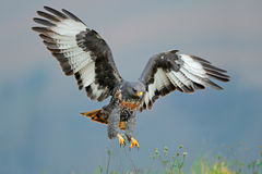 Jackal buzzard landing Royalty Free Stock Images