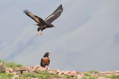 Jackal buzzard landing on rocky mountain in strong wind Stock Images