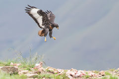 Jackal buzzard landing on rocky mountain in strong wind Stock Photography