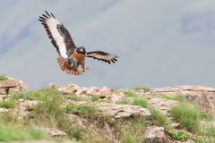Jackal buzzard landing on rocky mountain in strong wind Royalty Free Stock Photography