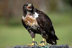 Jackal Buzzard Raptor Royalty Free Stock Photo