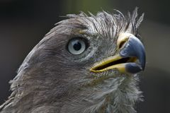Jackal buzzard of Southern Africa Royalty Free Stock Photos