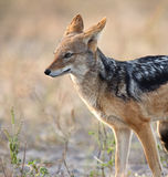 Jackal - Canis mesomalas - Botswana. A young male Black Backed Jackal (Canis mesomalas). Chobe National Park in Botswana Royalty Free Stock Photo