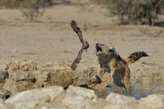 Jackal chasing sand grouse Royalty Free Stock Image