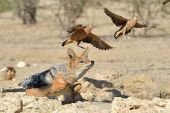 Jackal chasing sand grouse. For snack Royalty Free Stock Image