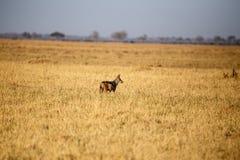 Jackal - Chobe n P Ботсвана, Африка Стоковая Фотография