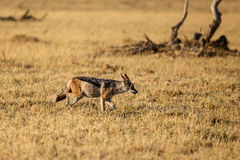 Jackal - Chobe N.P. Botswana, Africa. Black-Backed Jackal in Chobe National Park, Botswana, Africa Stock Images