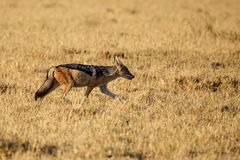 Jackal - Chobe N.P. Botswana, Africa Royalty Free Stock Photo