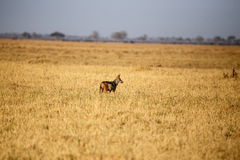 Jackal - Chobe N.P. Botswana, Africa. Black-Backed Jackal in Chobe National Park, Botswana, Africa Stock Photography